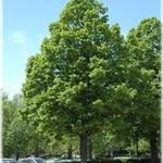 Redmond Linden Tree